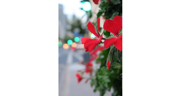 Image of a red flowers taken with the Canon PowerShot G7X digital compact camera