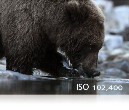 D5 photo of a bear drinking water from a river